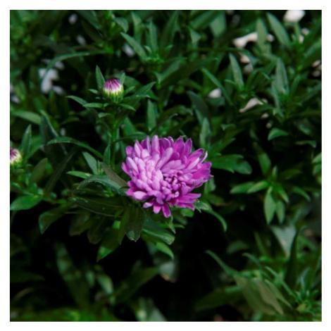 Astra novi-belgii 12cm květináč